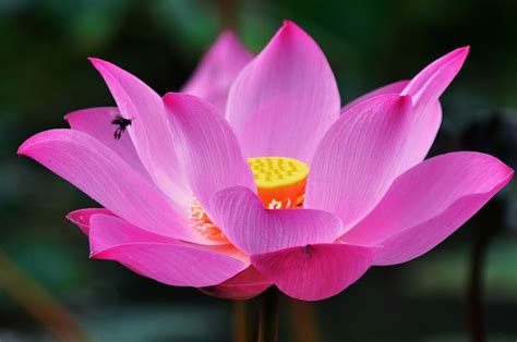 Flowers Images - lotus flower1 flower images pictures high resolution