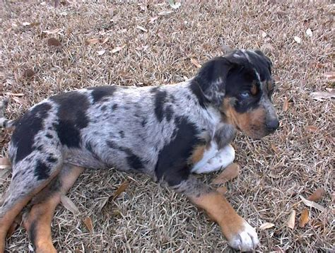 how to a catahoula leopard catahoula leopard puppies rescue pictures information temperament