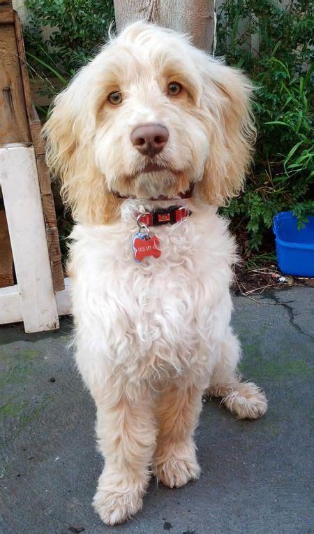 poodle mix puppies rescue best 25 poodle mix ideas on poodle mix puppies cavapoo puppies and