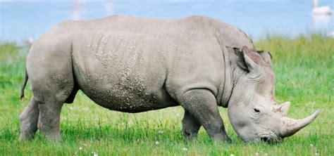 imagenes rinoceronte blanco rinoceronte blanco caracter 237 sticas qu 233 come d 243 nde vive