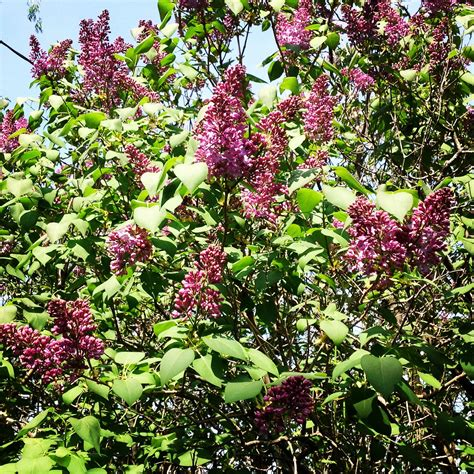 lilac tree lilac tree types bing images