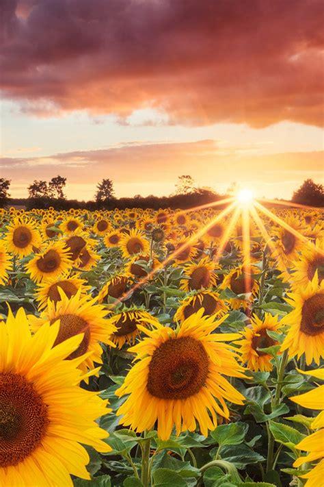 splendid sunflower field  sunset iphone  wallpapers