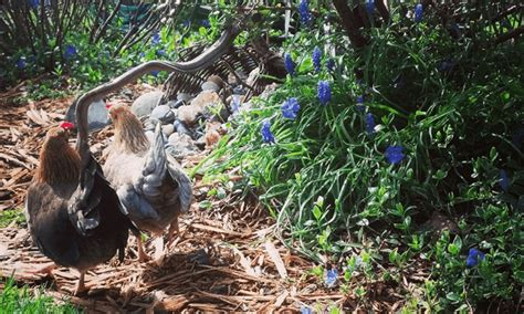 feeding backyard chickens 47 backyard chicken owners speak out the permaculture