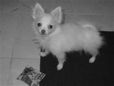 how much is a pomeranian chihuahua mix pocket puppies boutique chicago photo gallery