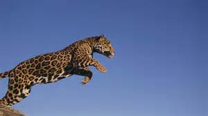 How Fast Does A Jaguar Run How Fast Can A Jaguar Run Reference