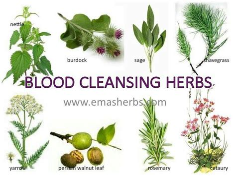Herbs To Detox by Blood Cleansing Herbs Foodies