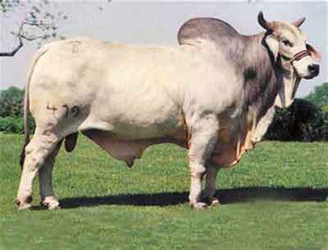 Cow Breeds   Brahman