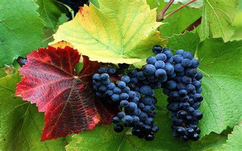 purple grapes on vine wallpaper
