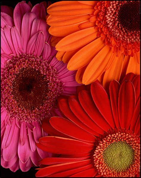 gerbera colors colors combos gerber daisies gerbera daisies flower