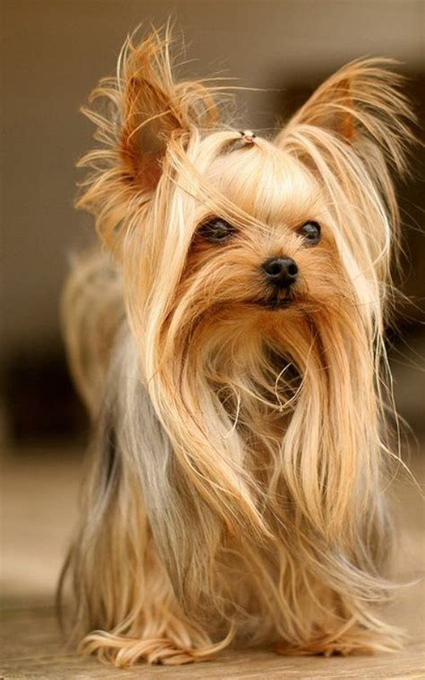 Yorkie Rear End With Long Hair Pictures | 21 best yorkie haircuts images on pinterest yorkies