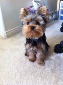 teacup yorkie haircuts pictures 25 best ideas about yorkie puppies on pinterest teacup