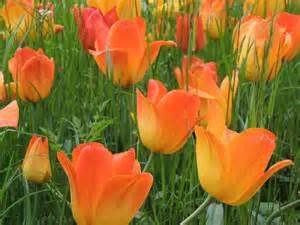 free photo tulips flowers orange red free image on