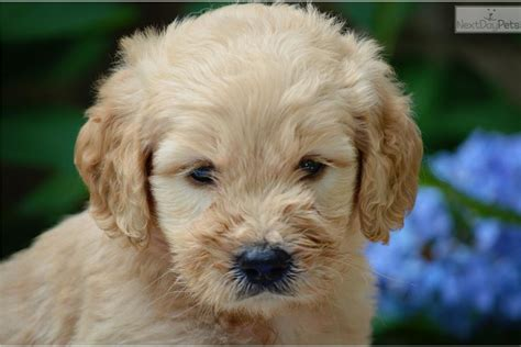 goldendoodle puppy for sale in nc goldendoodle puppy for sale near carolina
