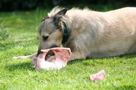 bone meal for dogs bone meal for dogs behaviors