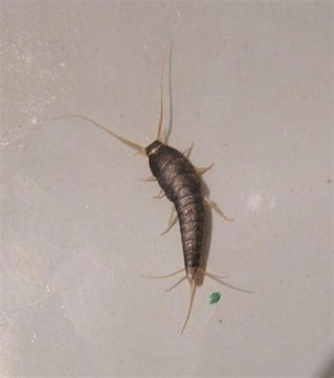 black worm like bug in bathroom black worm like bugs bing images