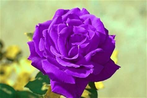 imagenes de rosas negras y moradas im 225 genes frases y reflexiones significado de los colores