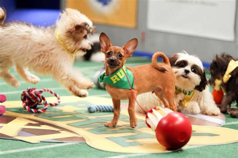 who won the puppy bowl the puppies of puppy bowl xi predict a bowl winner sfgate