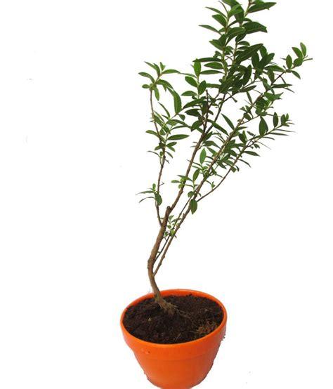 Instant Bonsai Just Remove Genes by A Bonsai Diy Small Bonsai Plant Of Guava Buy A