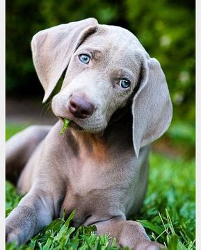 weimaraner puppies for free view ad weimaraner puppy for sale arizona scottsdale usa