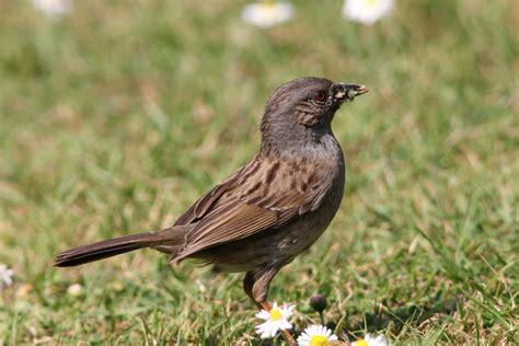 Garden Birds by Dunnock
