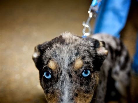 puppy blues dogs with blue puppies breeds picture