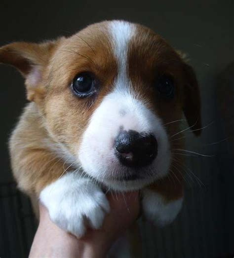 1000 images about corgis rule on puppys