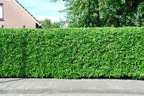 Garten Hecke by Hecke Pflanzen Kirschlorbeer Garten Ideen Exterieur