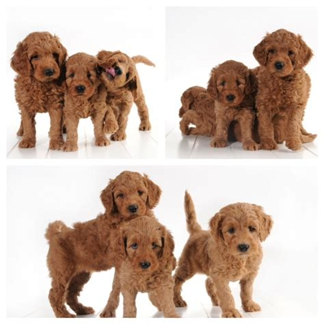 goldendoodle puppies alabama teddy goldendoodles http www dreamdoodles net images frompo