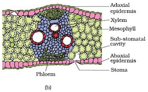 transverse section of a monocot leaf plant information online blog monocot and dicot leaf
