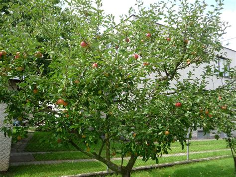 apple tree plant propagation a guide to propagating grafting apple