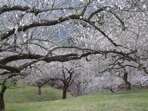 Panda Plum Garden by Post The Most Magnificent Trees In The World Bored Panda