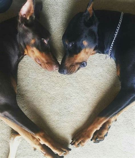 buy doberman puppy best 25 doberman ideas on doberman pup