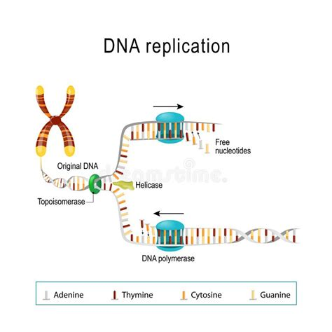 what acts as the template in dna replication what acts as the template in dna replication image
