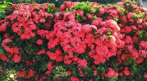 Tanaman Asoka India tokobungakarangan 5 manfaat bunga asoka bagi kesehatan tubuh
