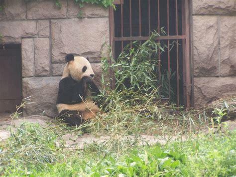 panda alimentazione foto gratis alimentazione panda