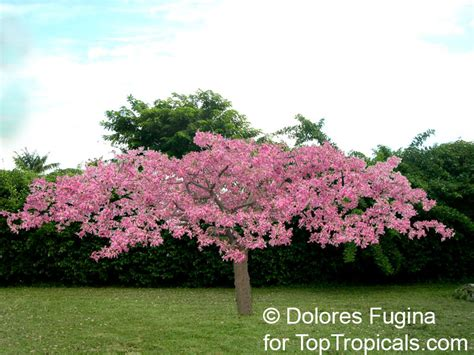 small pink tree www toptropicals