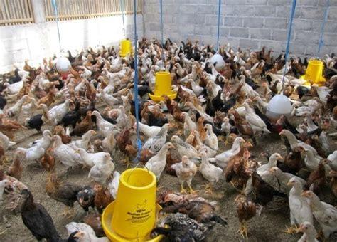 Alas Kandang Joper kandang yang baik untuk ternak ayam kung joper