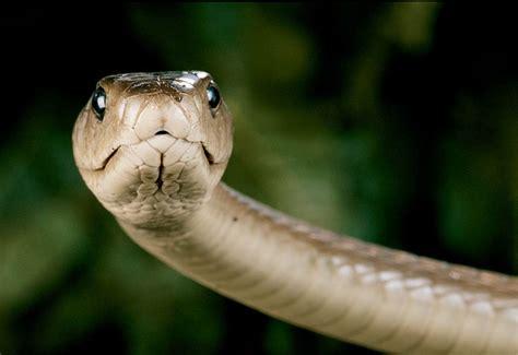 black mamba black mamba venomous snakes