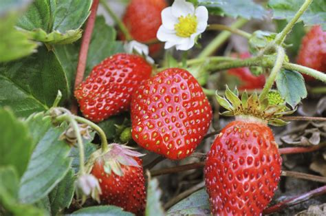 let the gardening begin with strawberries