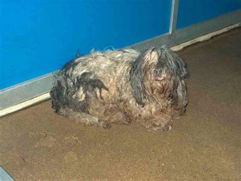 lone shih tzu and lhasa apso rescue lhasa apso rescue breeds picture