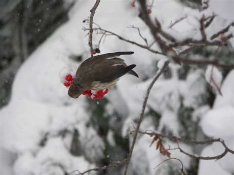 winter birds eating berries 3 by hardrockartist on deviantart