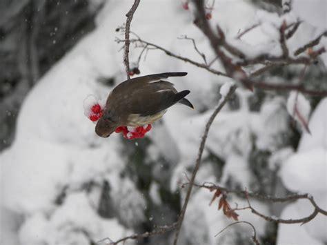 winter birds eating berries 3 by hardrockartist on deviantart