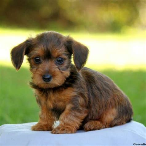 greenfield puppies for sale dorkie puppies for sale dorkie breed profile greenfield puppies