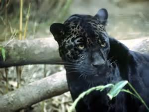 Jaguar Mammal