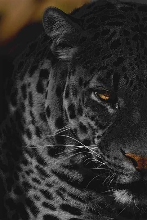 pictures of black jaguars best 25 black jaguar ideas on jaguar animal