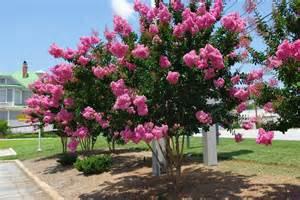 crepe myrtle crepe myrtle trees tree center