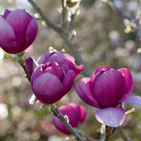 Black Magnolia by Black Tulip Magnolia Tree Gardens Of Delight