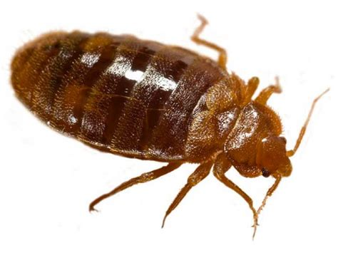 how often do bed bugs reproduce how often do bed bugs reproduce 28 images how often do