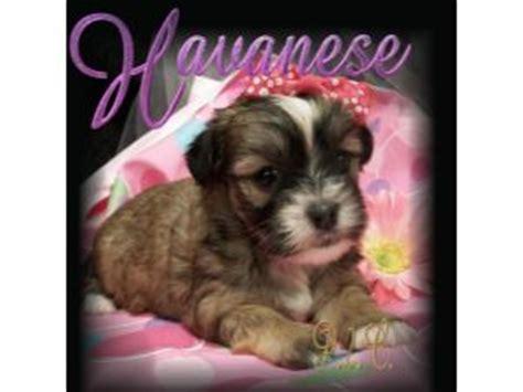 havanese puppies for sale in jacksonville fl havanese puppies for sale havanese havapoo puppies for sale in orange park