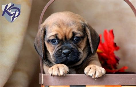 puggle puppies for sale in pa pooch puggle puppies for sale in pa keystone puppies puggle puppies